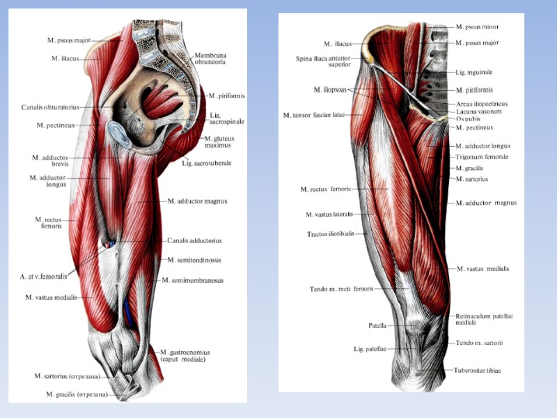 Department of Human Anatomy KNMU MUSCLES AND TOPOGRAPHY