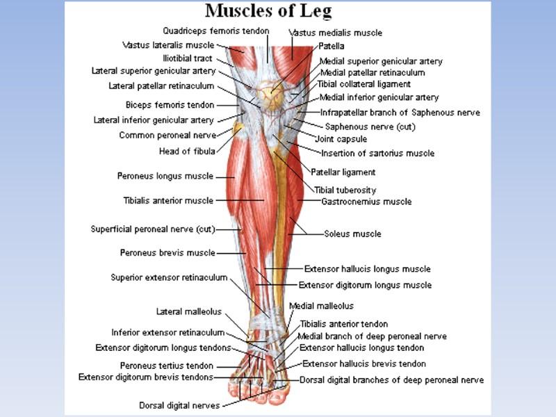 Medial Patellar Choice Image - human anatomy organs diagram