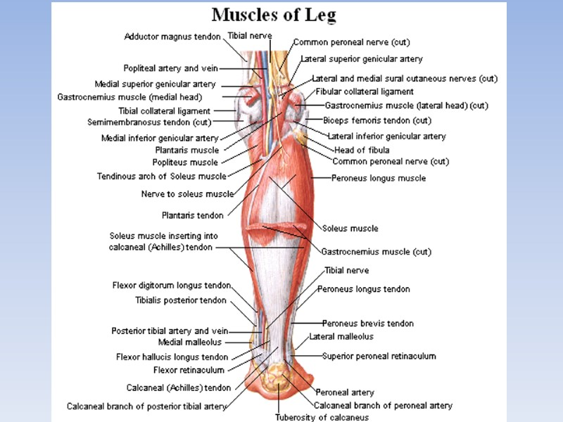 Luxury Plantaris Muscle Anatomy Picture Collection - Anatomy And ...