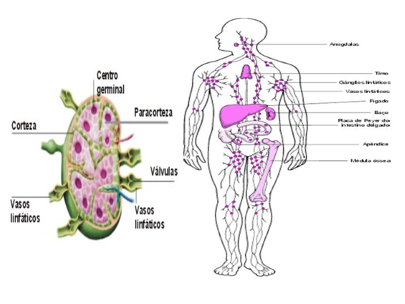 Excepcional Anatomía Vascular De Ratón Fotos - Imágenes de Anatomía ...