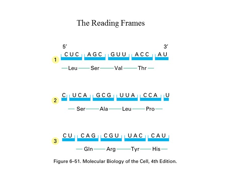 The Genetic Code The Reading Frames tRNA (clover
