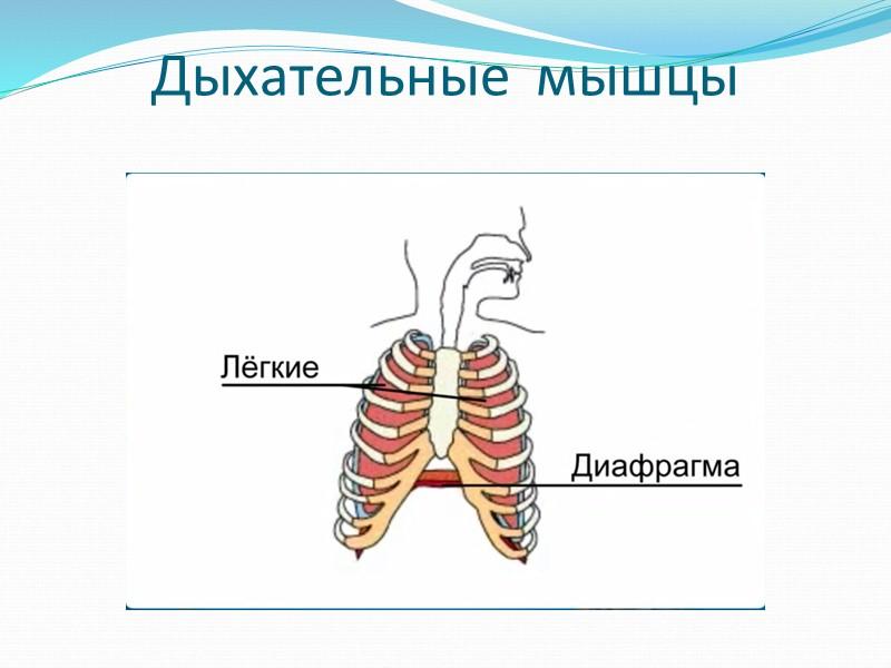 Типы мышц, в зависимости от того, где они располагаются на теле В нашем организме