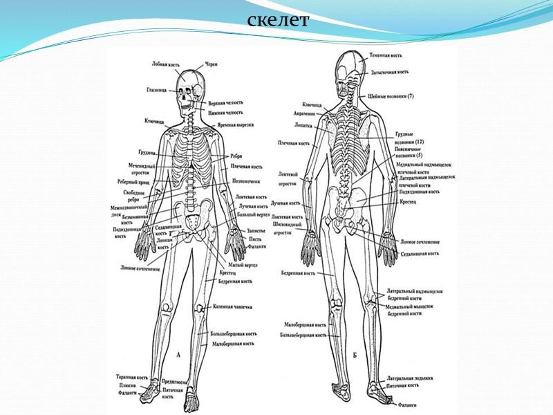Классификация нервной системы по функциям