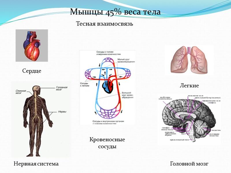 Малый круг кровообращения начинается из правого желудочка, оттуда венозная кровь попадает в легочные артерии,