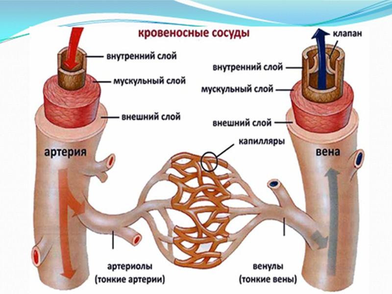 Функции костного скелета многообразны: опорная, защитная, биологическая, кроветворная. По активности ферментативных процессов, обмена углеводов,