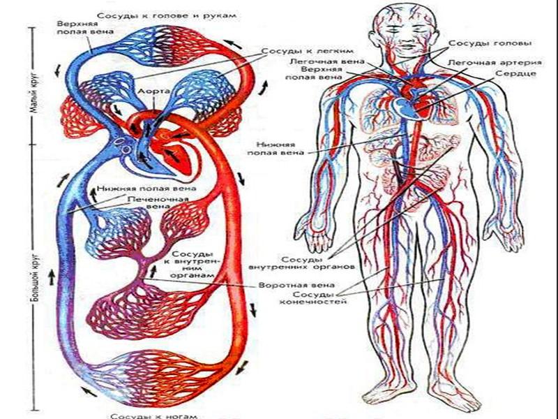 Строение кости Надкостница плотно прилегает к компактному веществу кости. Оно образовано костными цилиндрами, внутри