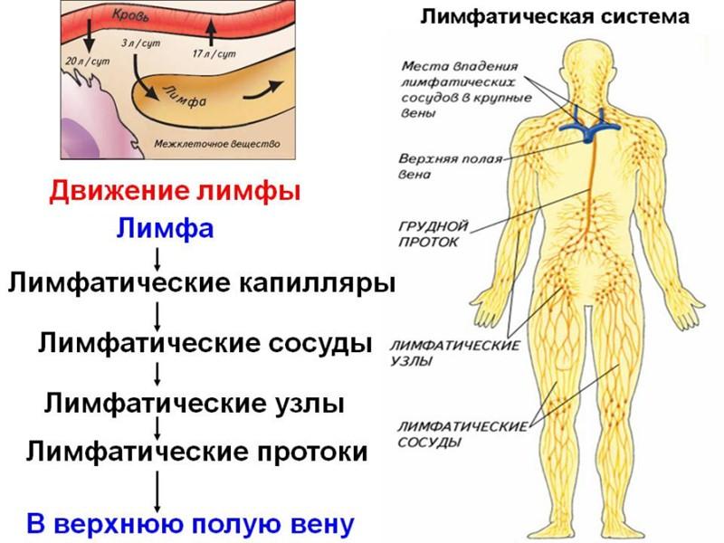 В мышце различают головку, брюшко и хвост  Количество головок может быть разнообразно (бицепс