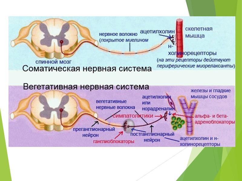 согревающие качества вегетативная нервная система причины термобелье CRAFT делилось
