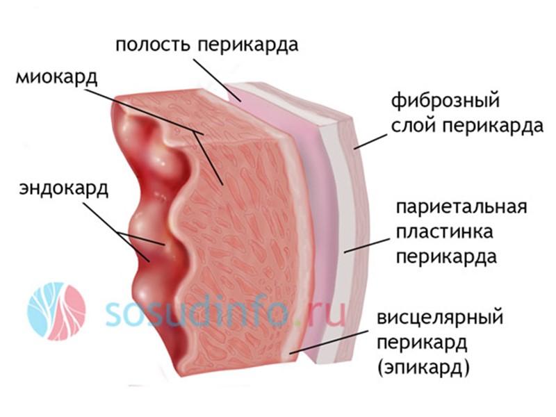 Строение трахеи, функции, стенка трахеи, адвентициальная