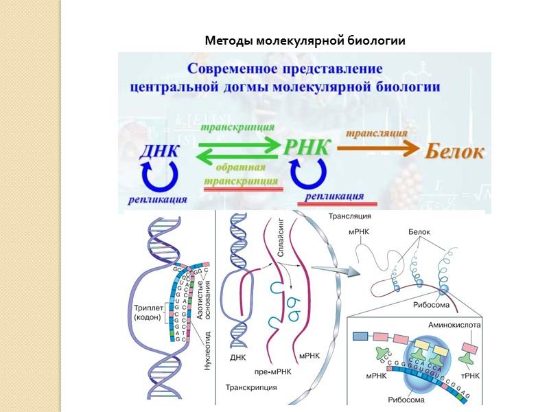 Схема центральная догма биологии