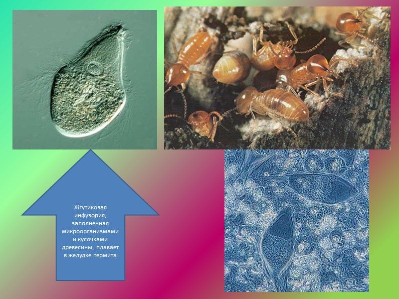 Термиты и инфузории