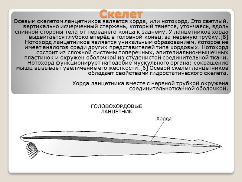 Хо́рдовые (лат. Chordata) — тип вторичноротых животных, для которых характерно наличие мезодермального осевого скелета