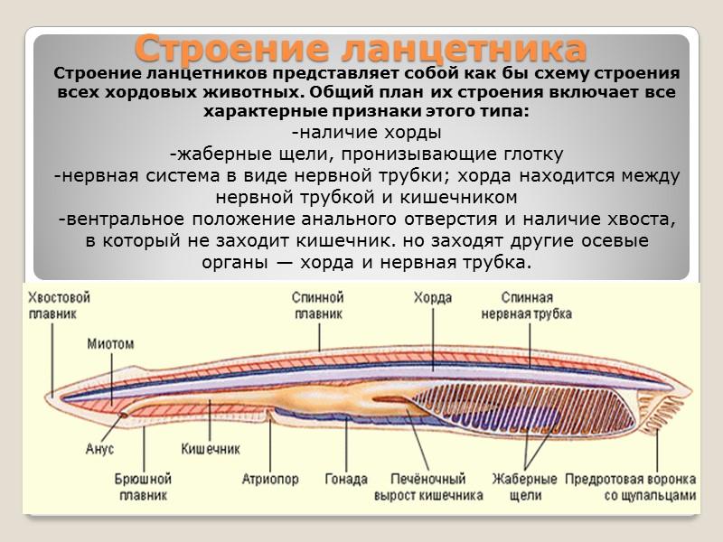 Пищеварительная система На нижней части головного конца располагаются ротовые щупальца и предротовая воронка, ведущая