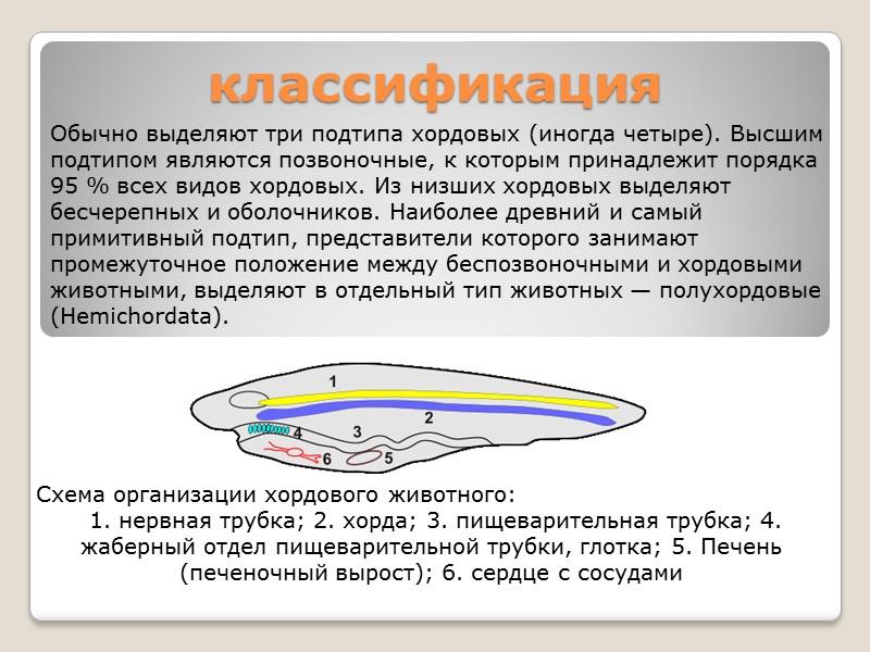 Центральная нервная система Центральной нервной системой (ЦНС) ланцетников является нервная трубка, лежащая над хордой