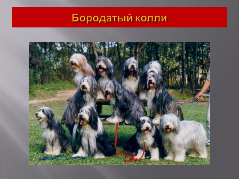 Восточно-Сибирская лайка