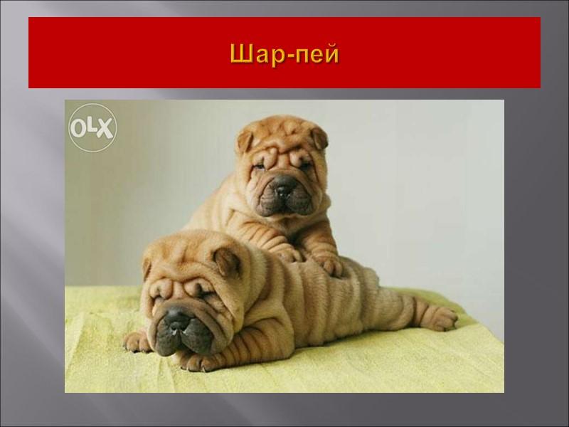 VIII Группа. Ретриверы, спаниели, водяные собаки 1.Секция. Ретриверы. - Золотистый ретривер. - Лабрадор-ретривер. -