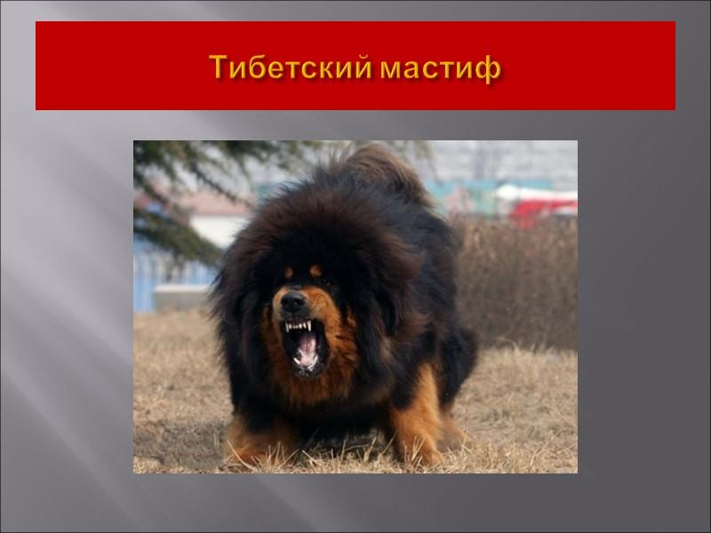 IX Группа. Декоративные собаки и собаки компаньоны 1. Секция. Бишоны и родственные им породы.