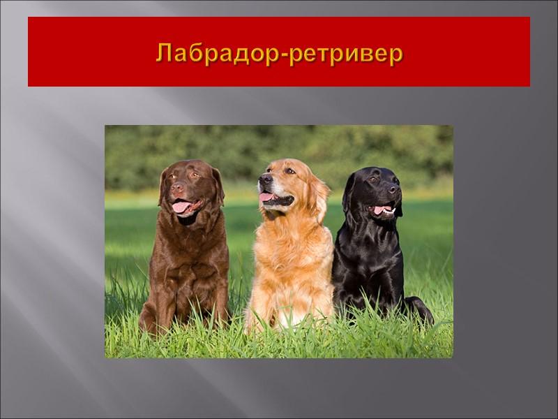 II. Группа. Пинчеры, Шнауцеры, Молоссы, горные и швейцарские скотогонные собаки.  1. Секция –