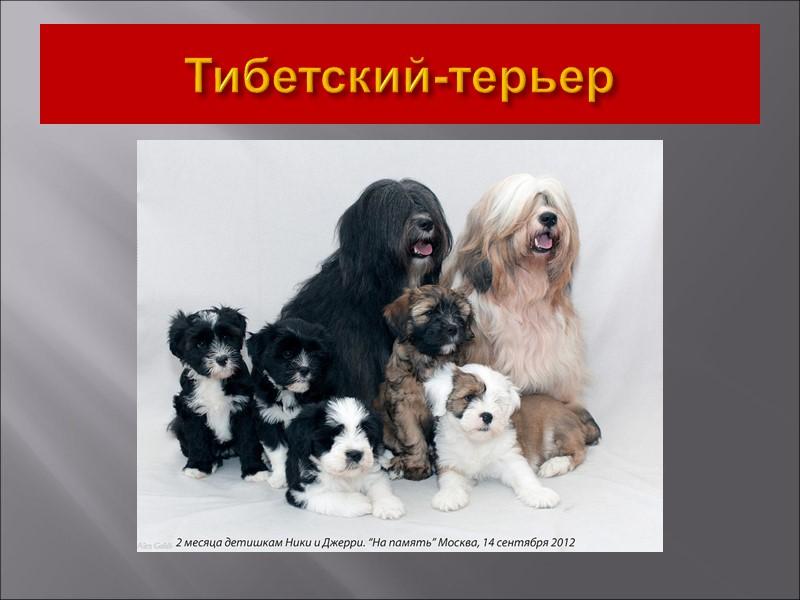 Молоссы – собаки с древней историей.  В истории молоссы значатся, как собаки-воины.