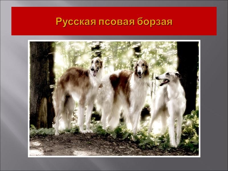 Горные собаки очень разного предназначения: одни породы являются телохранителями (итальянский кане-корсо), другие – спасателями