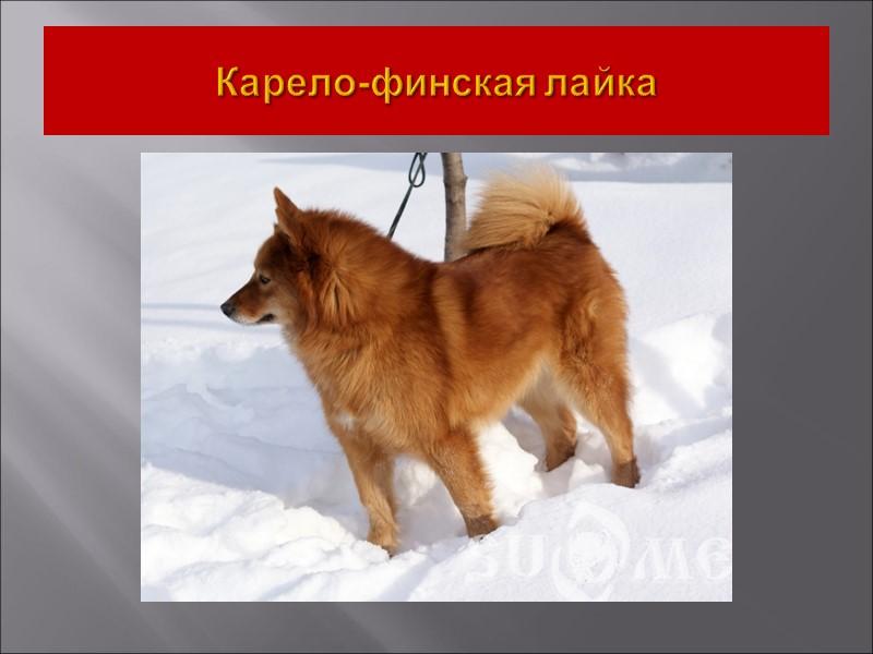 Дж. П. Скотт из университета в Огайо в своих исследованиях установил у домашней собаки