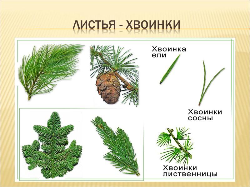 растения Удмуртии (назовите их)
