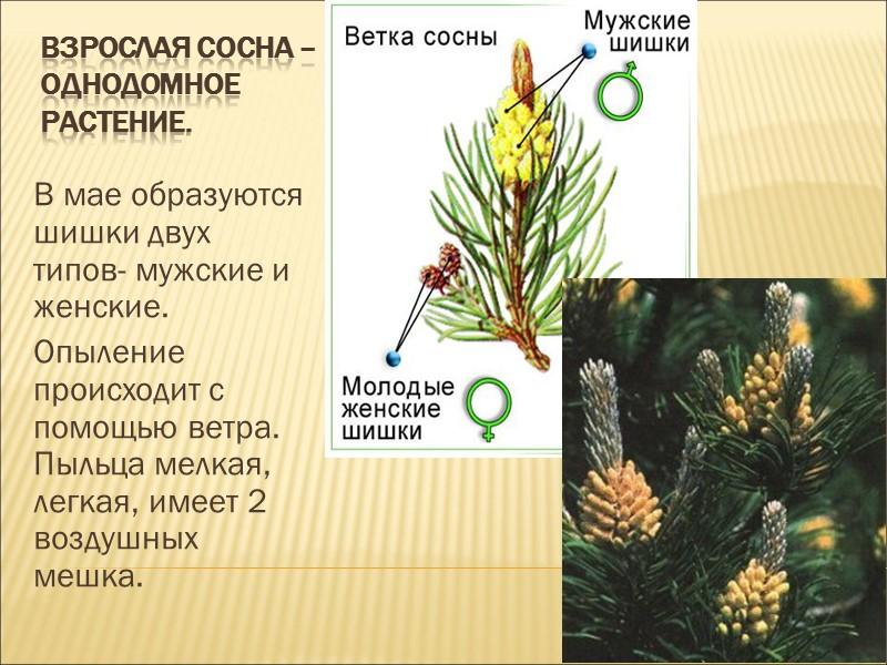 Цели урока:  1.Показать преимущество размножения семенами перед спорами. 2. Распознавать представителей голосеменных растений