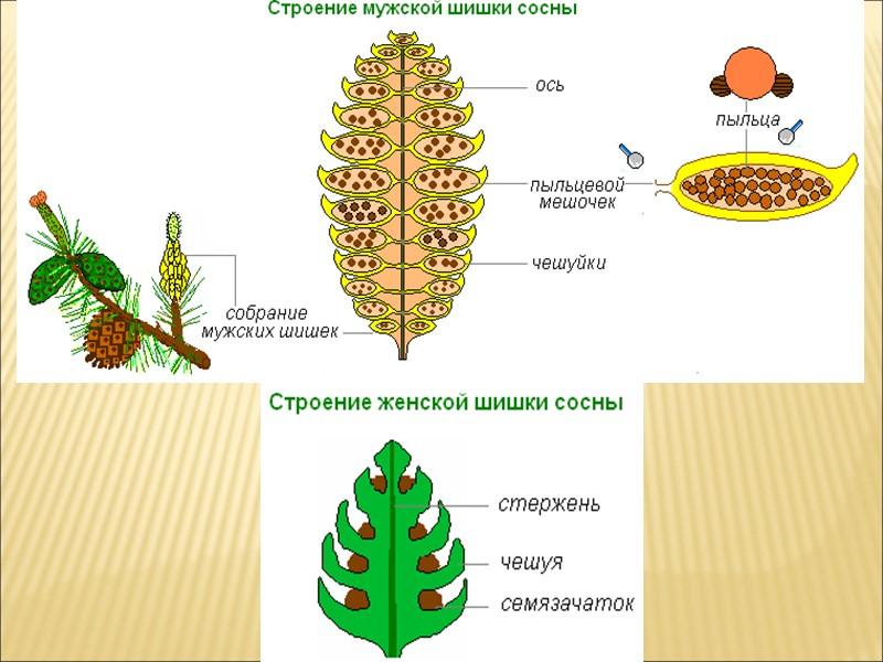 Отдел голосеменные насчитывает около 700 видов. Это в основном вечнозеленые деревья, реже кустарники, трав