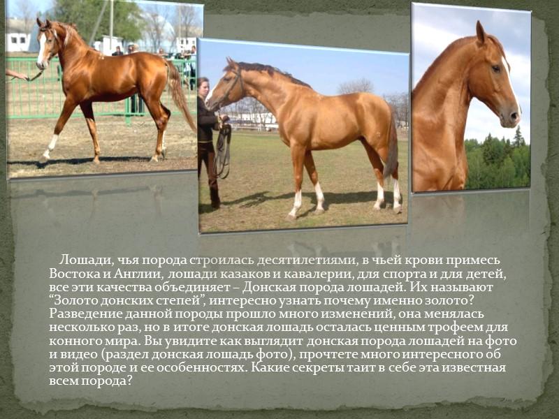 Лошади, чья порода строилась десятилетиями, в чьей крови примесь Востока и Англии, лошади казаков