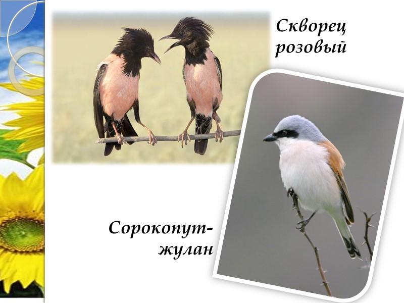 Ковыль азовский Ковыль шершавый