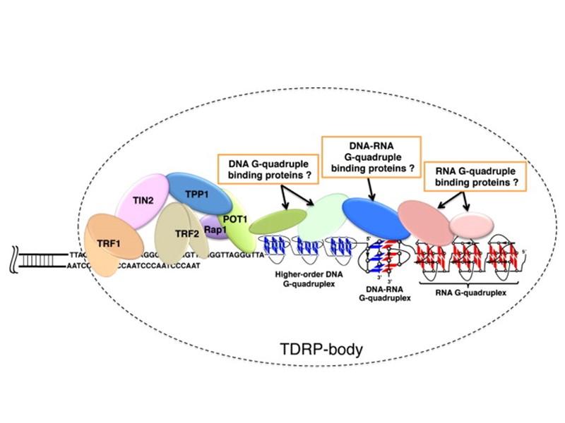 Гибриды ДНК-РНК