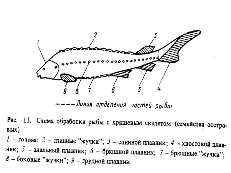 Характеристика осетровой рыбы Осётр имеет тело удлинённой, веретеновидной формы. Рыло короткое, тупое. Усики располагаются