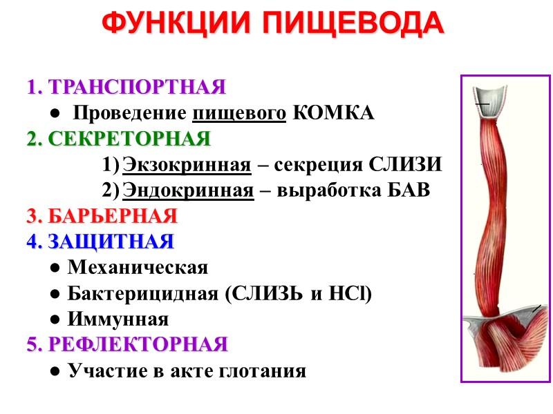 ФУНКЦИИ ЗУБОВ     Жевательная     Формообразующая  (по