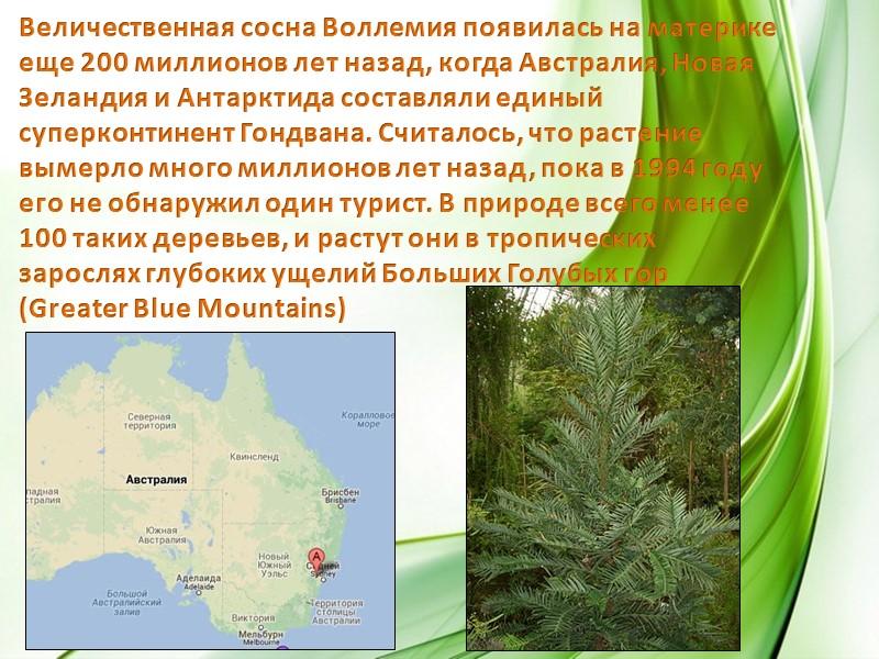 Леса Австралии на 80 процентов состоят из эвкалиптов. Остальные 20 процентов составляют акации, чайные