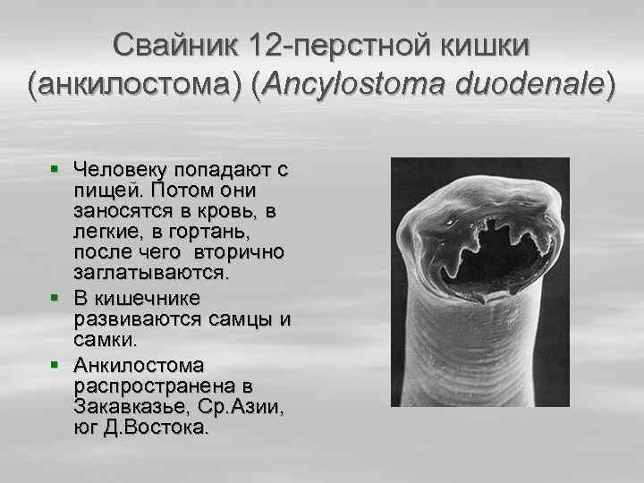 Свайник 12 -перстной кишки (анкилостома) (Ancylostoma duodenale) § Человеку попадают с пищей. Потом они
