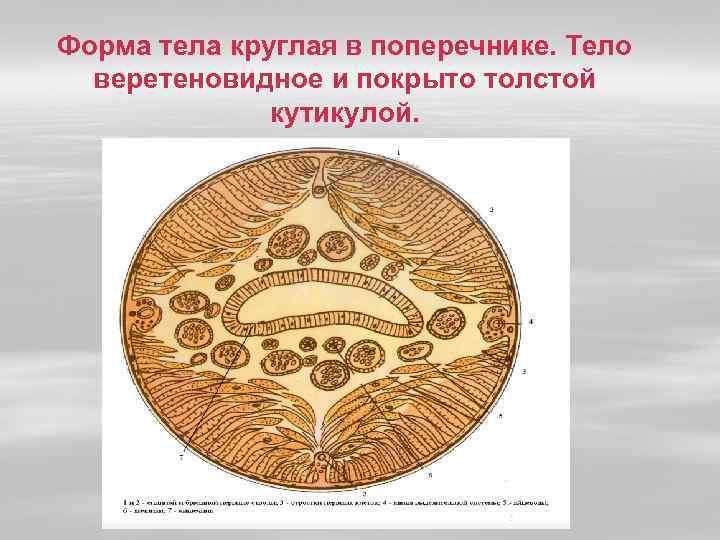 Форма тела круглая в поперечнике. Тело веретеновидное и покрыто толстой кутикулой.