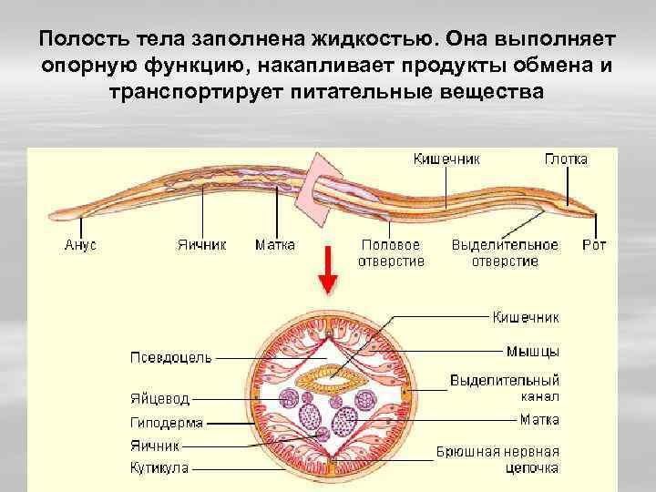 Полость тела заполнена жидкостью. Она выполняет опорную функцию, накапливает продукты обмена и транспортирует питательные
