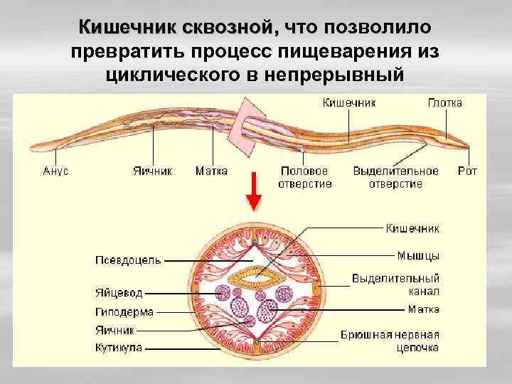 Кишечник сквозной, что позволило превратить процесс пищеварения из циклического в непрерывный
