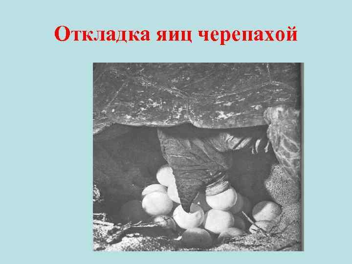 Откладка яиц черепахой