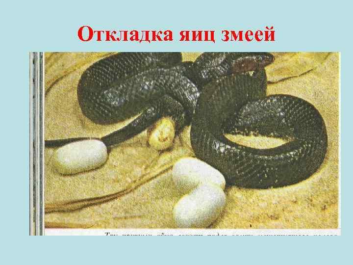 Откладка яиц змеей