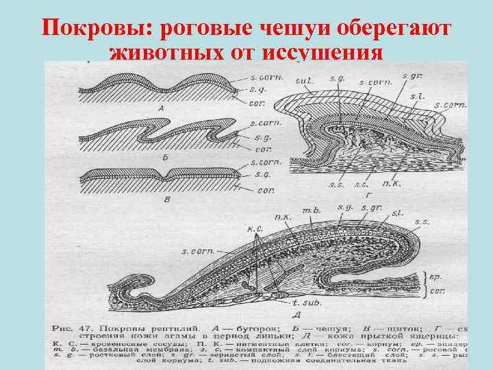 Покровы: роговые чешуи оберегают животных от иссушения