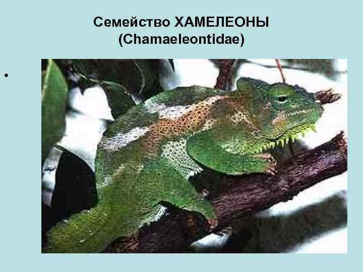 Семейство ХАМЕЛЕОНЫ (Chamaeleontidae) •
