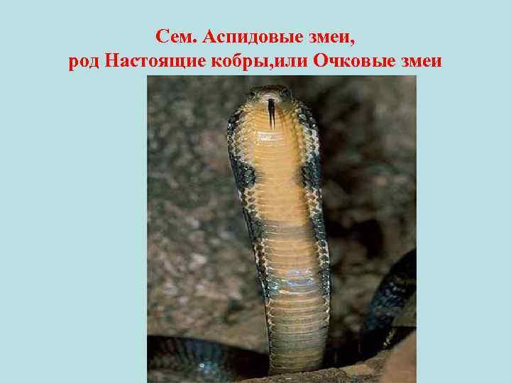 Сем. Аспидовые змеи, род Настоящие кобры, или Очковые змеи