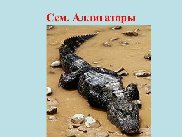 Сем. Аллигаторы