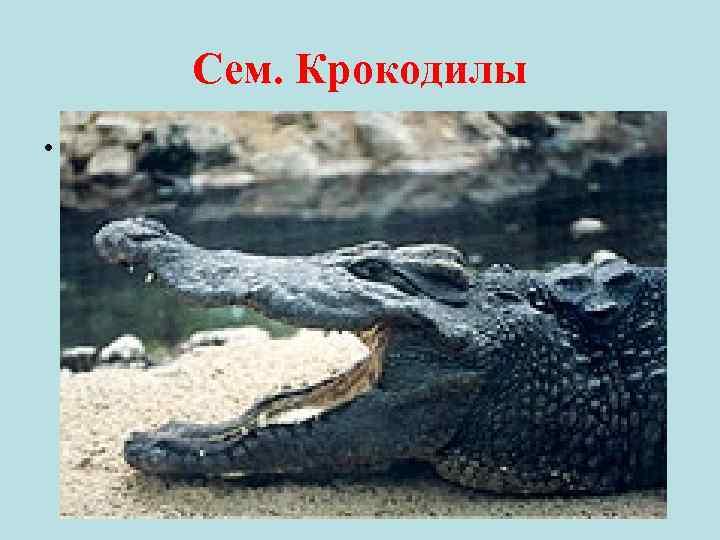 Сем. Крокодилы •