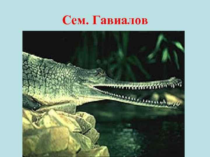 Сем. Гавиалов •