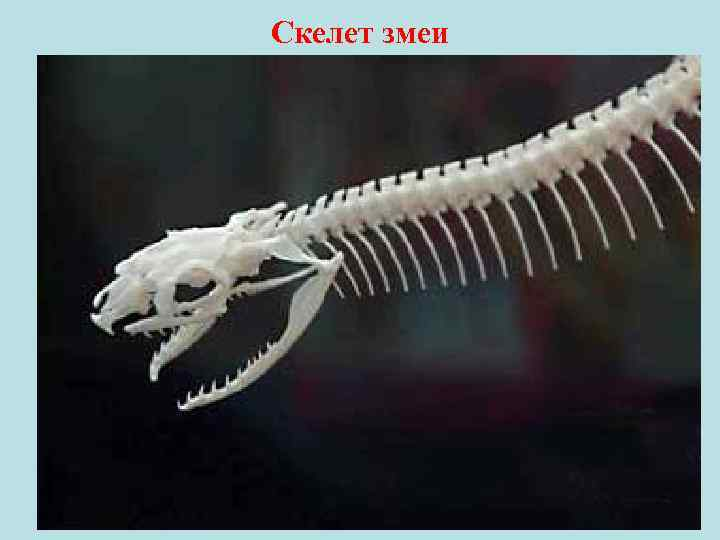 Скелет змеи