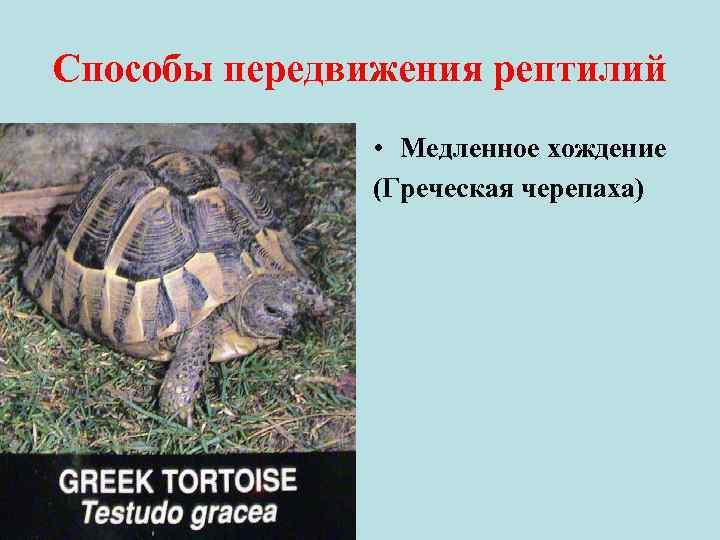 Способы передвижения рептилий • Медленное хождение (Греческая черепаха)