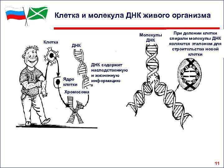 Клетка и молекула ДНК живого организма Клетка Молекулы ДНК Ядро клетки При делении клетки