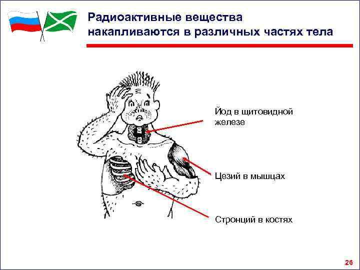 Радиоактивные вещества накапливаются в различных частях тела Йод в щитовидной железе Цезий в мышцах